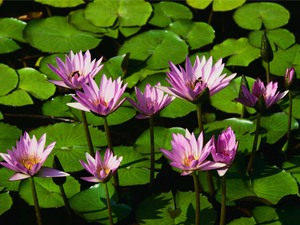 Water_lilies_2